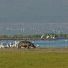 _DSC7616e Hippo Pelicans & Gulls