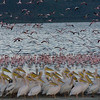_DSC7588e Flamingos, White Pelicans