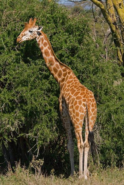 _DSC7716e Reticulated Giraffe