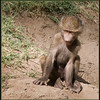 _DSC7315e Baboon Baby