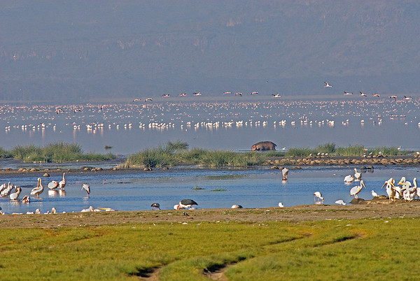 _DSC7612e Hippo Pelicans & Gulls