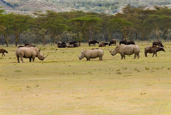 _DSC7413e Cape Buffalo & White Rhino