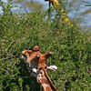 _DSC7713e Reticulated Giraffe