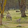 _DSC7430e Burchell's Zebra
