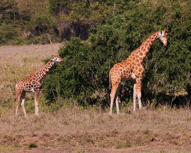 _DSC7699e Reticulated Giraffe