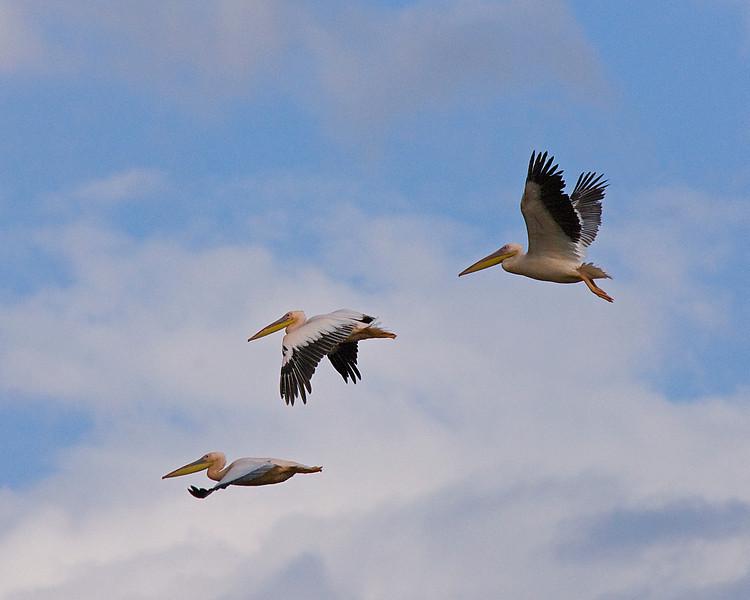 _DSC7495e White Pelicans Flying