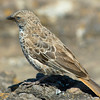 Rufous-tailed Weaver - Ngorongoro Crater
