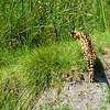 Serval - Ngorongoro Crater