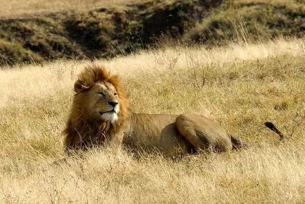 Lion - Serengeti NP
