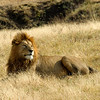 Lion - Serengeti NP