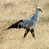 Secretary Bird - Ngorongoro Crater
