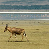 RedHartebeest & Flamingos - Ngorongoro Crater