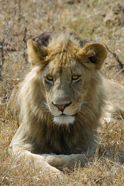 Young Male LIon - Ngorongoro Crater