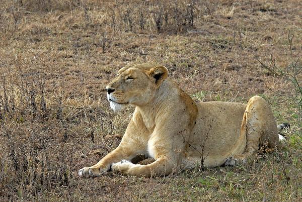 Female Lion -  Watching warthogs