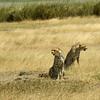 Cheetah Ngorongoro Crater