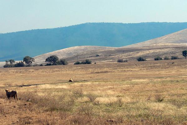Female lion stalking warthogs - Ngorongoro Crater