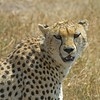 Cheetah Up Close