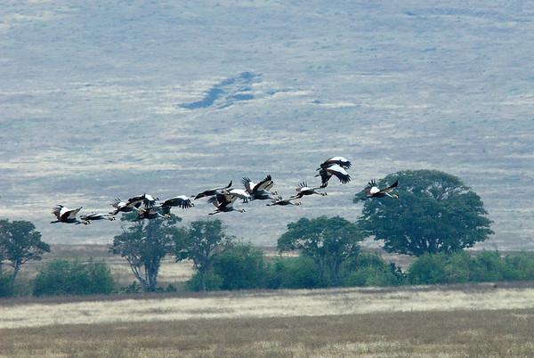 Crested Cranes - Serengeti