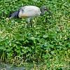 Sacred Ibis - Ngorongoro Crater NP Hippo Pond