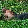Hippopotamus Ngorongoro Crater
