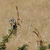 Redwing Bush Lark on Acacia Bush