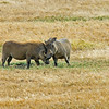 Warthogs in Love - The subjects of lion hunt - Ngorongoro Crater