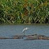 Grey Heron on Hippo - Ngorongoro Crater NP