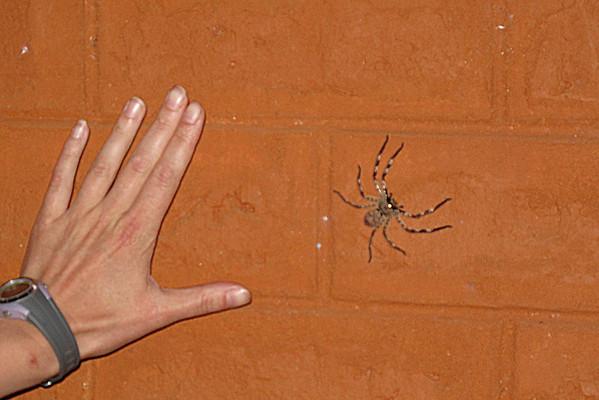 IMG_1825e Giant Spider