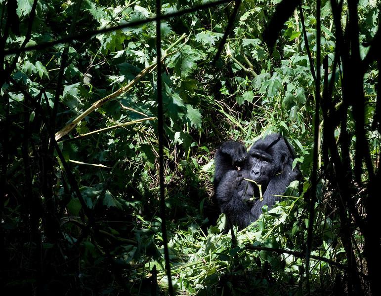 Mountain Gorilla - Bwindi