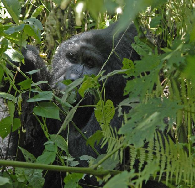 _DSC5395e Mountain Gorilla
