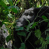 _DSC5401e Mountain Gorilla