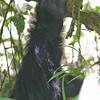 _DSC5334e Mountain Gorilla
