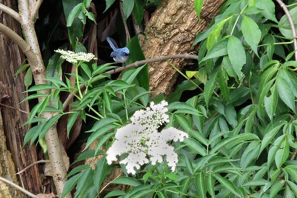 IMG_1814e Blue Flycatcher