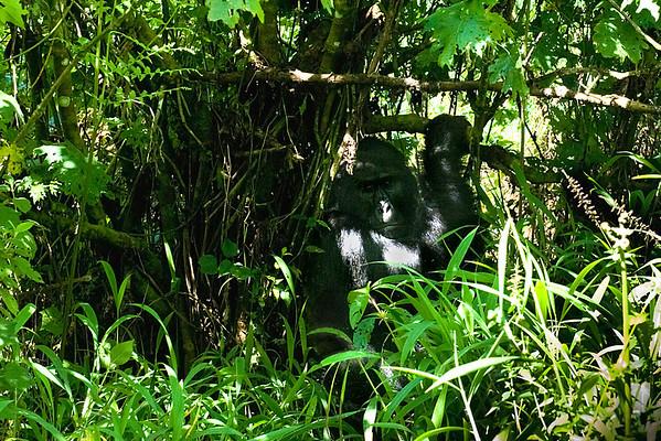 _DSC4141 Gorilla Staring