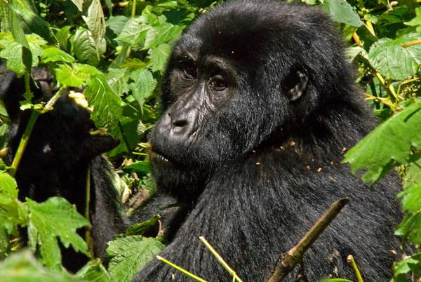 _DSC5383e Gorilla Female Close Up