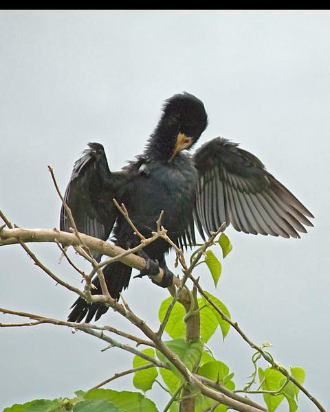 _DSC6116e Long-tailed Cormorant