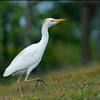 _DSC6295e Cattle Egret
