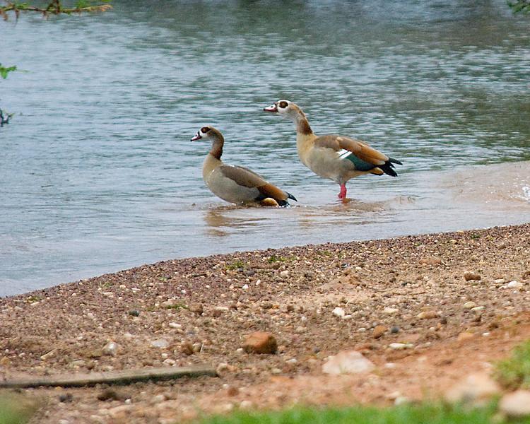 _DSC6135e Egyptian Goose