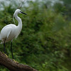 Little Egret - Lake Victoria Island