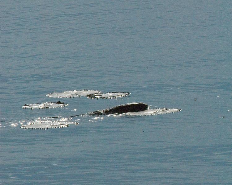 _DSC6081e Snake in Water