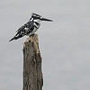 _DSC6103e Pied Kingfisher