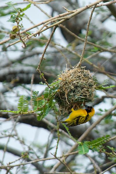 Masked Weaver - Lake Victoria Island