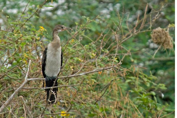 White-necked Cormorant - Lake Victoria Island