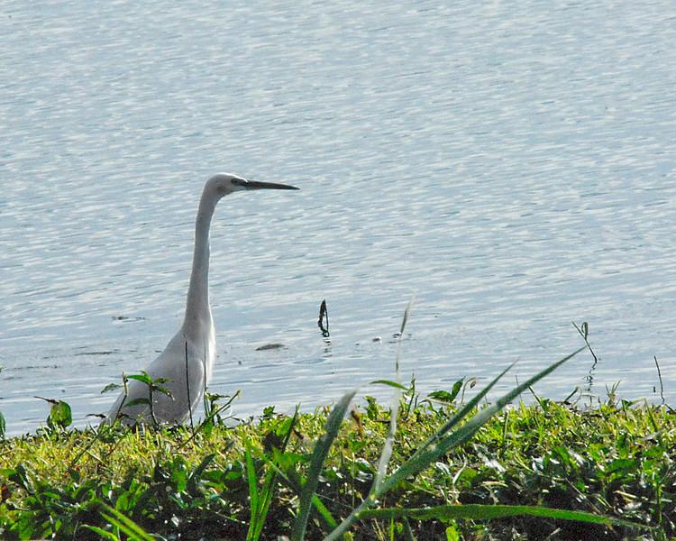 _DSC6079e Great White Egret