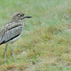 Senegel Thicked-knee Curlew - Lake Victoria Island