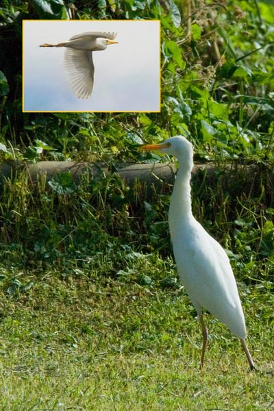 _DSC6069 &4822e Yellow-billed Egret