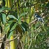 _DSC5123e Pied Kingfisher