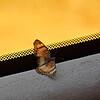 _DSC3208e Butterfly