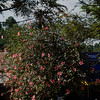_DSC3501e Hibiscus Tree