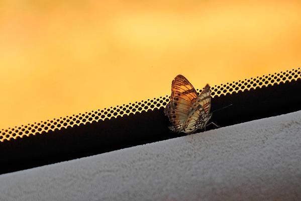 _DSC3207e Butterfly in Car